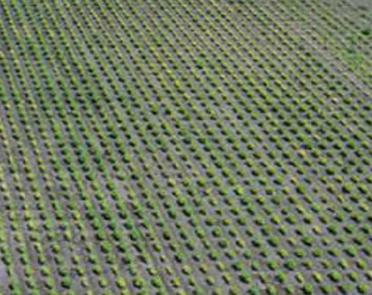 Photo - Aerial view of a Corteva Agriscience soybean iron deficiency chlorosis field screening nursery.