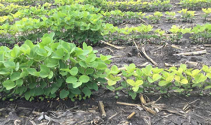 Photo - Soybeans showing differences in IDC symptoms at different plant densities.
