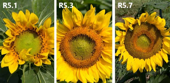 Photo - Sunflower heads in flowering (R5) stages.