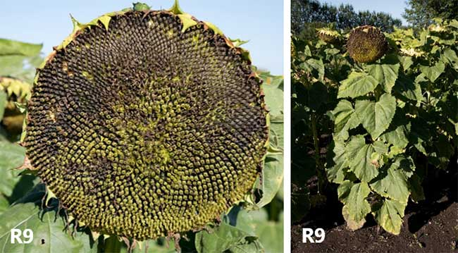 Photo - Sunflower head and plant at physiological maturity.