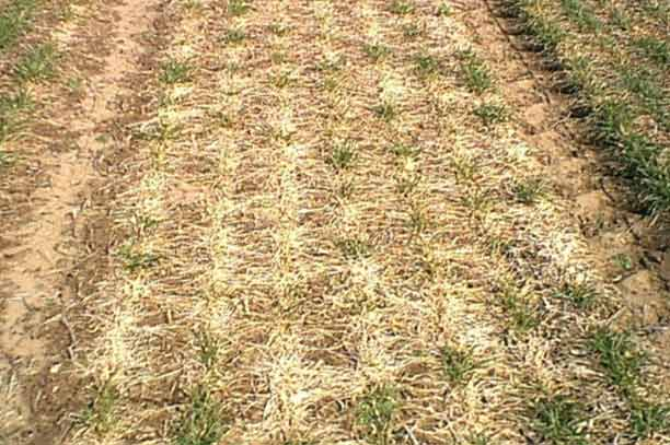 Photo - Snow mold symptoms in a field trial.