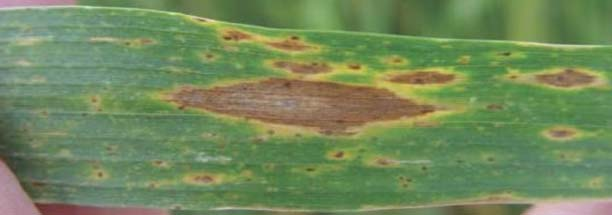 Photo - Wheat leaf with tan spot lesions during different stages of maturity.