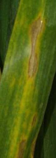 Photo - Wheat leaf with irregular shaped tan spot lesions.