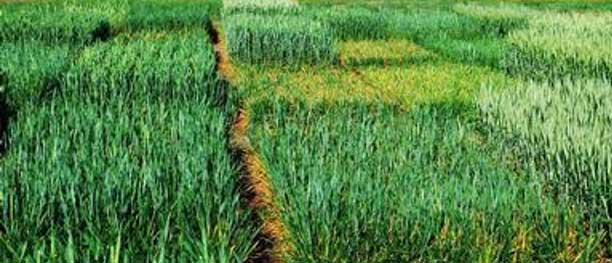 Photo - Wheat plot with different levels of resistance to leaf rust.