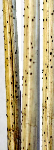 Photo - Wheat stems with dark colored overwintering structures.