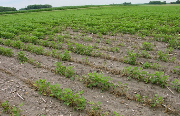 Photo - Uneven response of soybeans to soil residues of atrazine applied to corn the previous year.