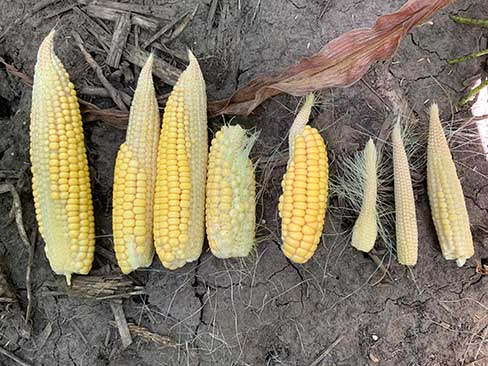 Photo -  - Corn ear showing damage from Greensnap.