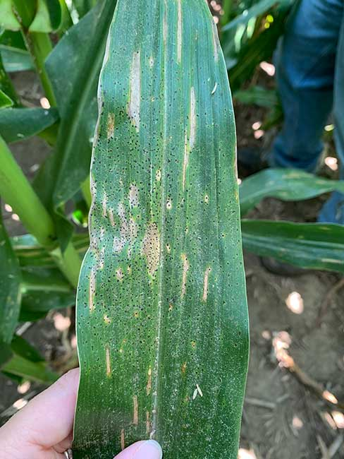 Photo - Tar Spot on Corn Leaf.