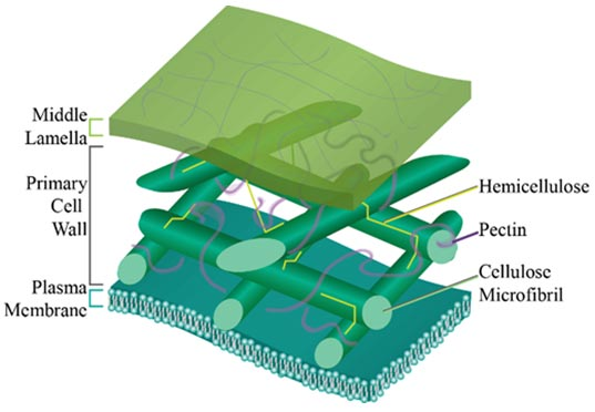 Illustration - Close-up of plant cell wall, showing the key components that maintain structural integrity.