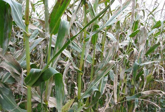 Photo - Closeup - Corn field severely infected by northern corn leaf blight.