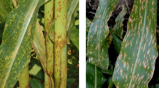 Photo - Southern rust on corn (left), gray leaf spot on corn (right).