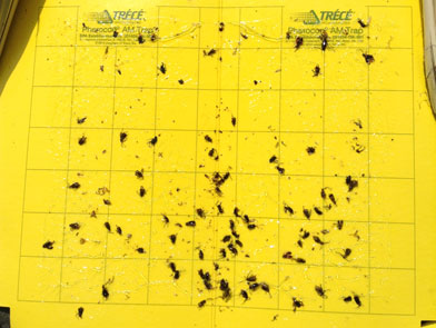 imgChange|  https://www.pioneer.com/multimedia/imgGalleries/cropTour/0725_bassett2.jpg|txtChange| Corn rootworm (CRW)   traps from Western Illinois showing over 50 western CRW beetles collected <br />in a 1-week period   ending July 21.