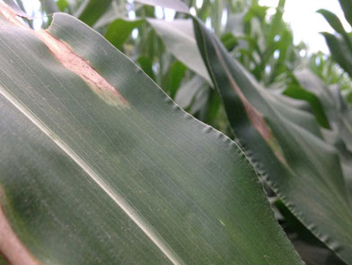 imgChange|  https://www.pioneer.com/multimedia/imgGalleries/cropTour/0725_zumbach1.jpg|txtChange|Northern corn leaf   blight in upper canopy. Weather forecast is favoring continued development <br />of the disease.   Photo taken the week of July 21 in southeast Iowa.