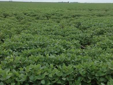 imgChange| https://www.pioneer.com/multimedia/imgGalleries/cropTour/0727_roberts2.jpg|txtChange|Soybean field in Ford County (Illinois)  in excellent condition. Photo taken during the week of July 20.