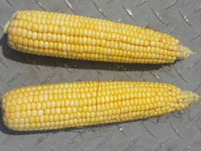 imgChange|  https://www.pioneer.com/multimedia/imgGalleries/cropTour/0808_benton2.jpg|txtChange|Same hybrid as the   other one planted in southeast Iowa. This field was planted the first week of <br />May and is at R3   (milk stage). Photo taken the week of August 4.