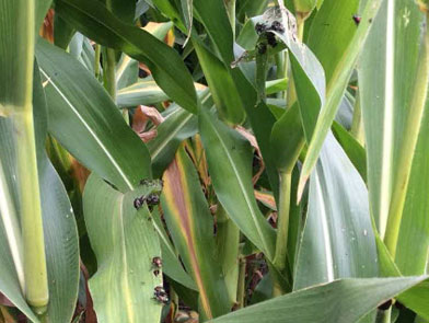 imgChange|  https://www.pioneer.com/multimedia/imgGalleries/cropTour/0808_zumbach2.jpg|txtChange|Insect pressure in   corn has been low except for Japanese beetles. Photo taken south of <br />Independence in Buchanan   County (Iowa) during the week of August 4.