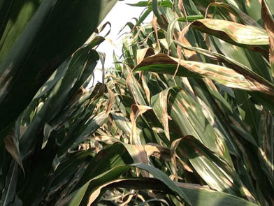 imgChange|  https://www.pioneer.com/multimedia/imgGalleries/cropTour/0808_zumbach3.jpg|txtChange|Northern corn leaf   blight continues to show up in fields in Iowa. Photo taken in Linn County during <br />the week of   August 4.
