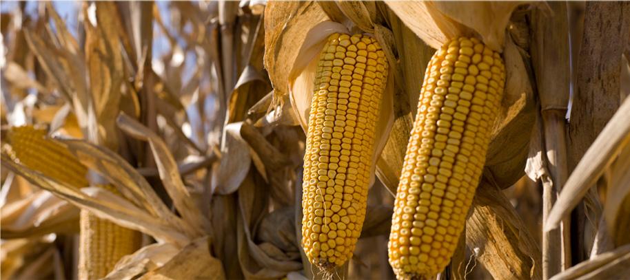 grain corne dente